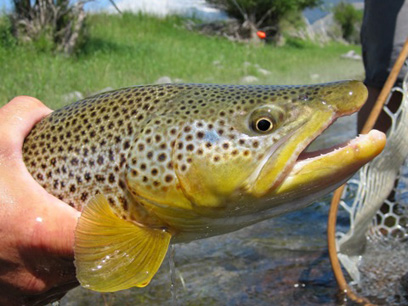 Yellowstone River, Montana, fly fishing